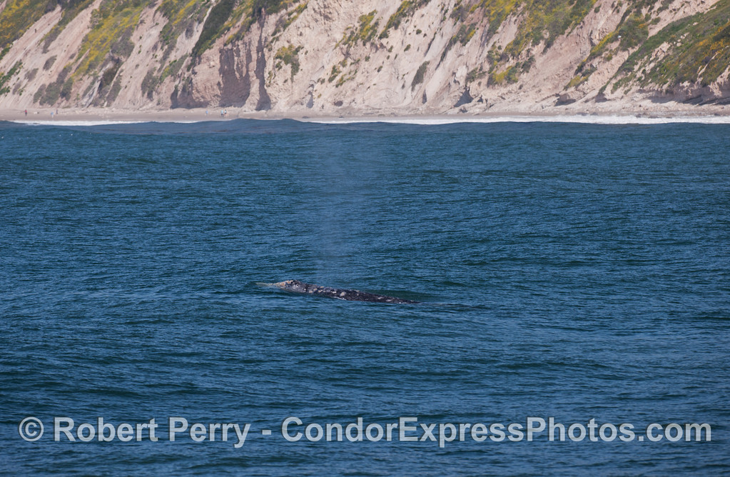 Pacific Gray Whale (Eschrichtius robustus) near the beach.