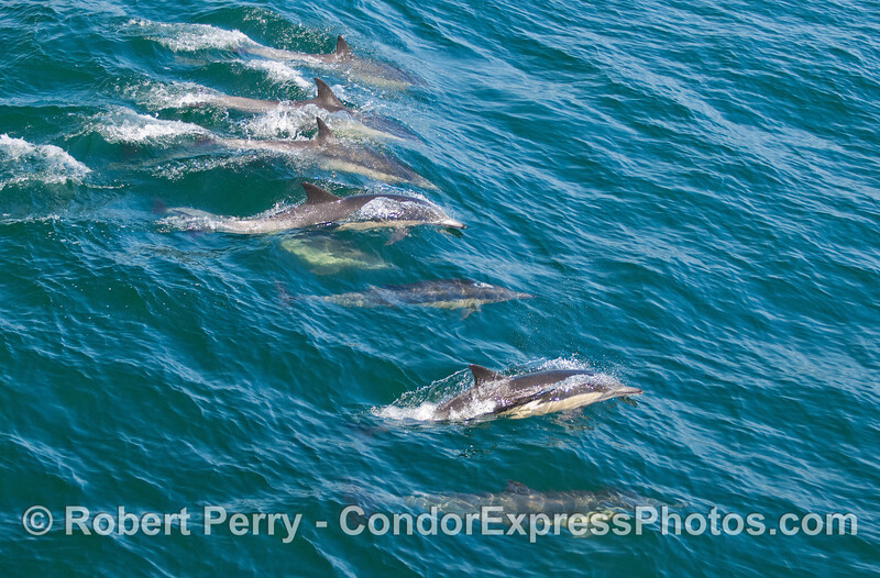 A line of Common Dolphins (Delphinus capensis) catches a wave.
