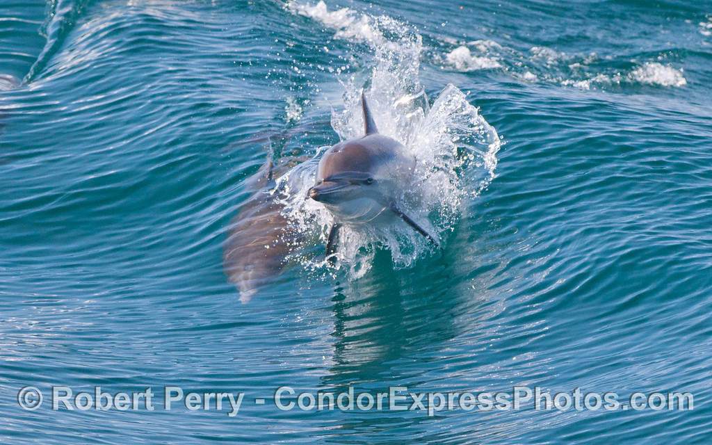 Two Common Dolphins (Delphinus capensis), one leaping.