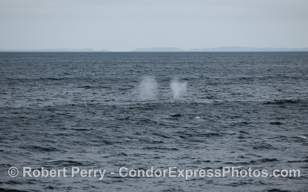 Two Humpback Whale (Megaptera novaeangliae) spouts between large ocean swells on a rainy day .
