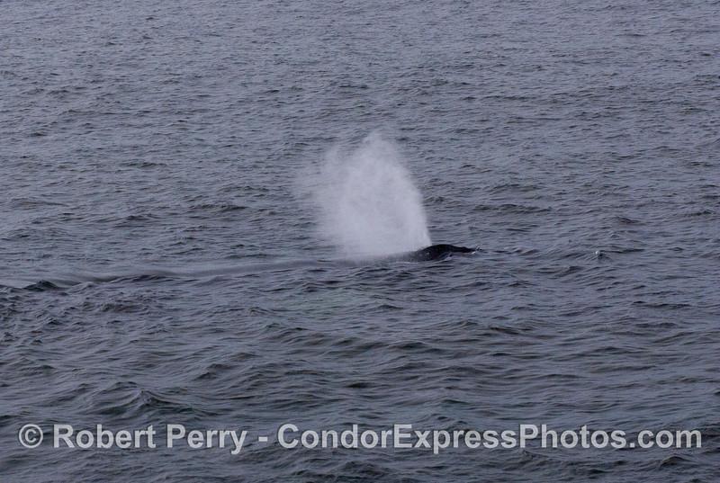 Humpback Whale (Megaptera novaeangliae) spouting in the breeze.