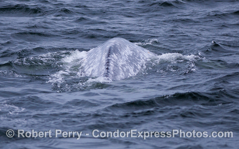 Looking from tail towards head across the back of a Gray Whale (Eschrichtius robustus).  Compare this to the next image which shows the same view of a Humpback Whale (Megaptera novaeangliae).