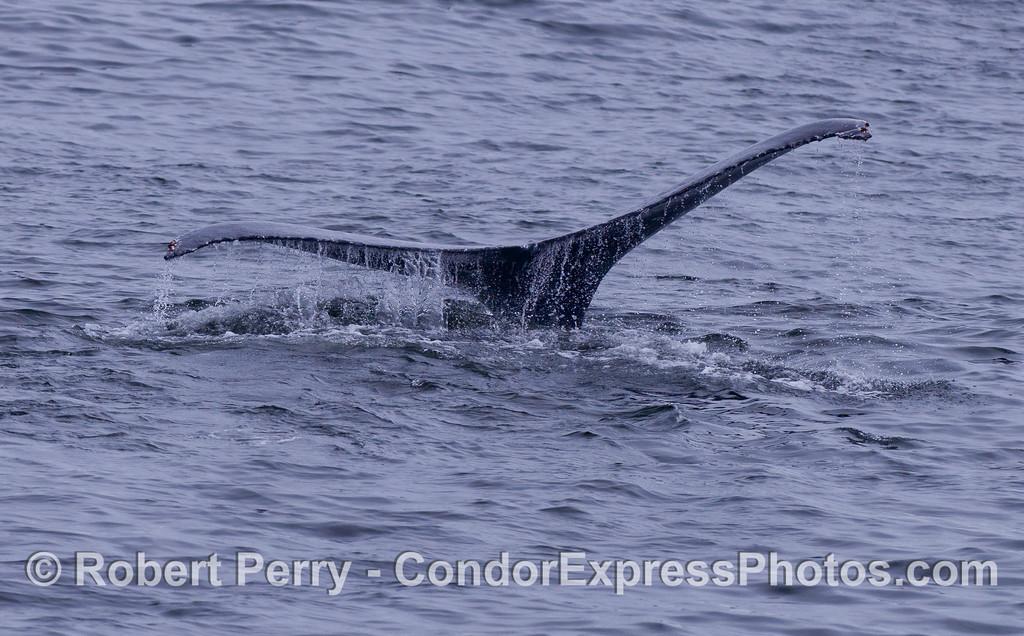 Humpback Whale (Megaptera novaeangliae) tail flukes.