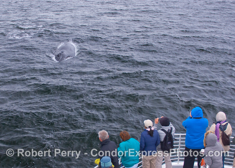 Another friendly Humpback Whale (Megaptera novaeangliae) thrills the whalers who braved the rain to get a great look.