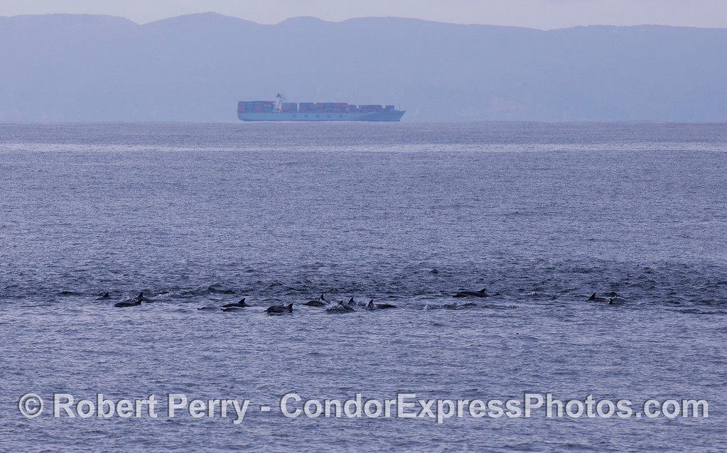A long line of Common Dolphins (Delphinus capensis) in the Santa Barbara Channel with a westbound container ship and Santa Cruz Island in the background.