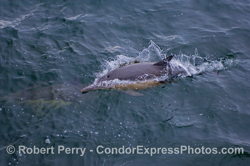 A Common Dolphin (Delphinus capensis) pops up for air.