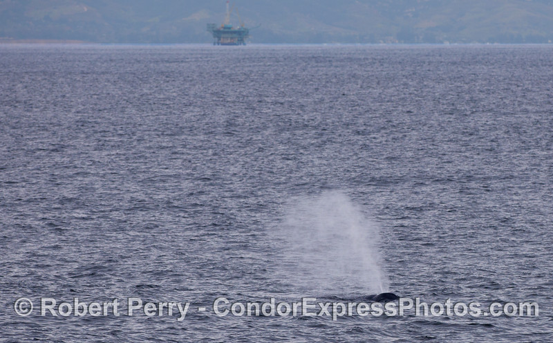 Humpback Whale (Megaptera novaeangliae) spouts with an oil platform in the back.