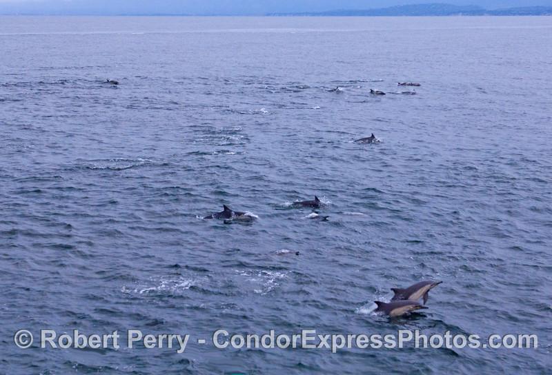 Part of the Common Dolphin (Delphinus capensis) herd.