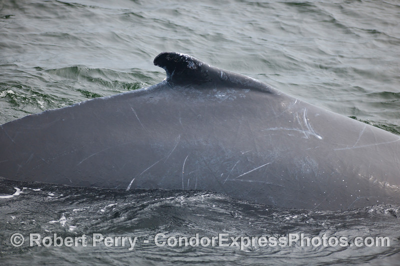 The back of a Humpback Whale (Megaptera novaeangliae).  Compare this to the whale on the previous page.