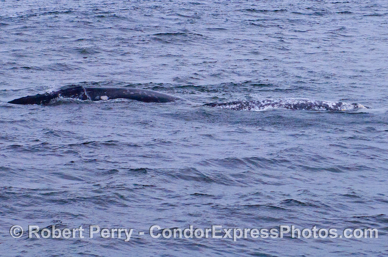 Two Gray Whales (Eschrichtius robustus) side by side.