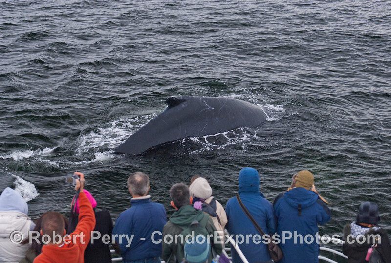 Whalers on board the Condor Express get a great look at a friendly Humpback Whale (Megaptera novaeangliae).