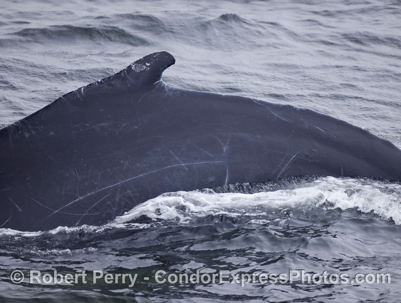 The back of a Humpback Whale (Megaptera novaeangliae).  Compare this to the whale on the next page.