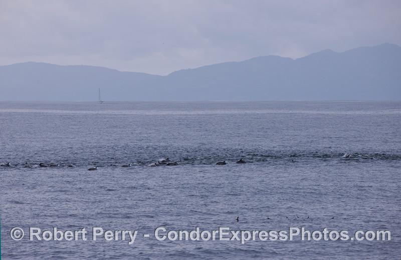 A long line of Common Dolphins (Delphinus capensis).