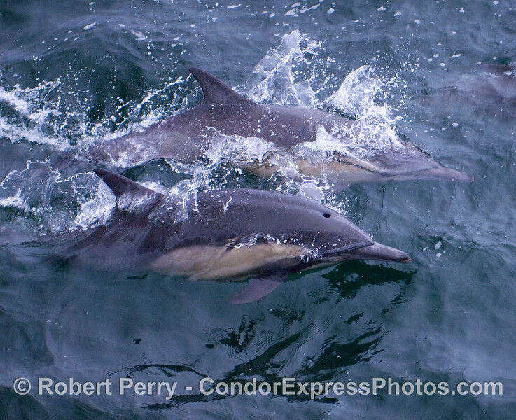 Two Common Dolphins (Delphinus capensis) close up.