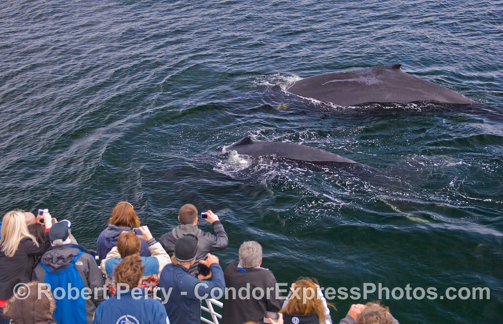 Megaptera novaeangliae 2 & passengers CLOSE 2011 03-26 SB Channel a - 065