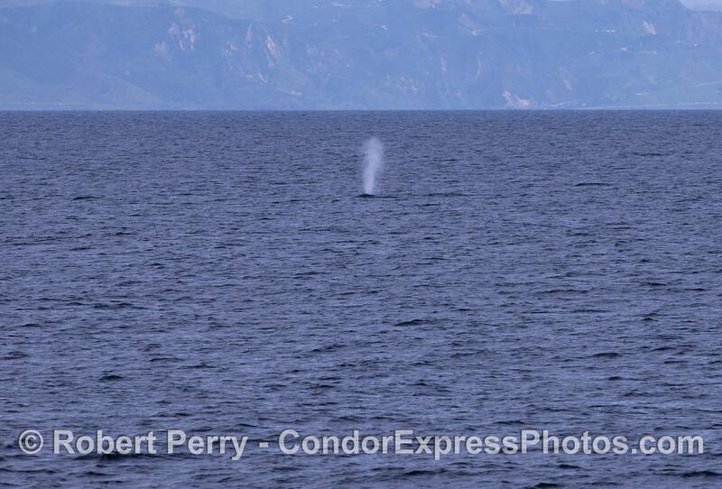 Spouting Gray Whale (Eschrichtius robustus).