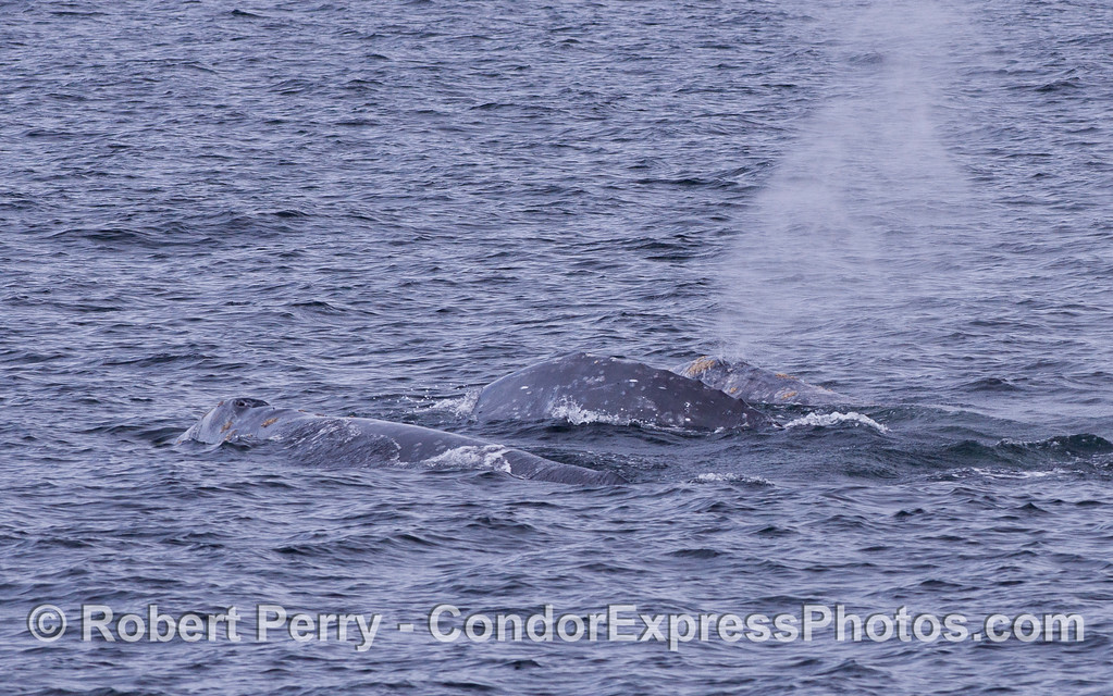 A close look at three Gray Whales (Eschrichtius robustus).