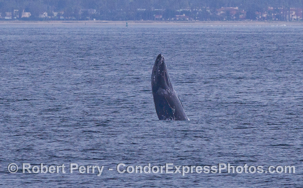 Breach Sequence image 1 of 3:  Gray Whale (Eschrichtius robustus) gets some air off the coast of Santa Barbara.