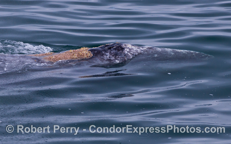 An even closer look at a Gray Whale (Eschrichtius robustus) head and splashguard.