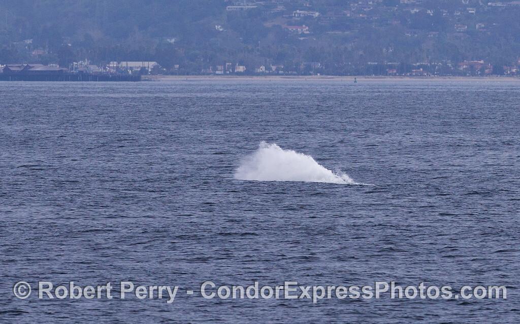 Breach Sequence image 3 of 3:  Gray Whale (Eschrichtius robustus) splashdown.