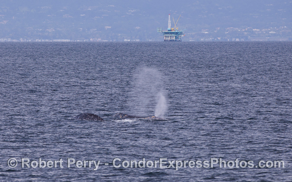 A trio of Gray Whales (Eschrichtius robustus) heading west in the Santa Barbara Channel outside of Platform Habitat.