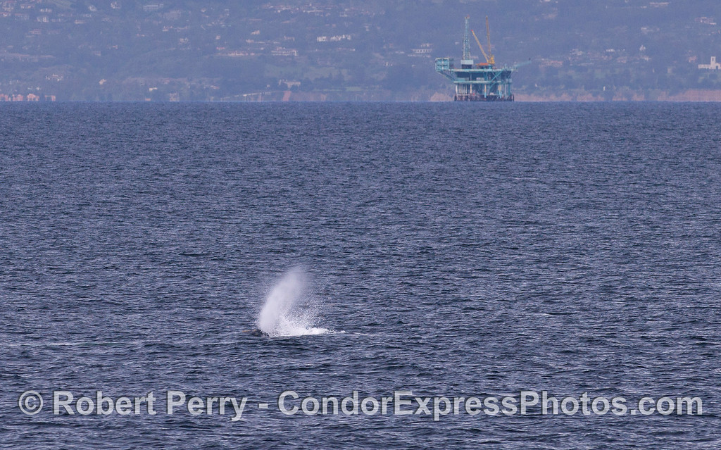 A Gray Whale (Eschrichtius robustus) spouts with Platform Habitat in the back.