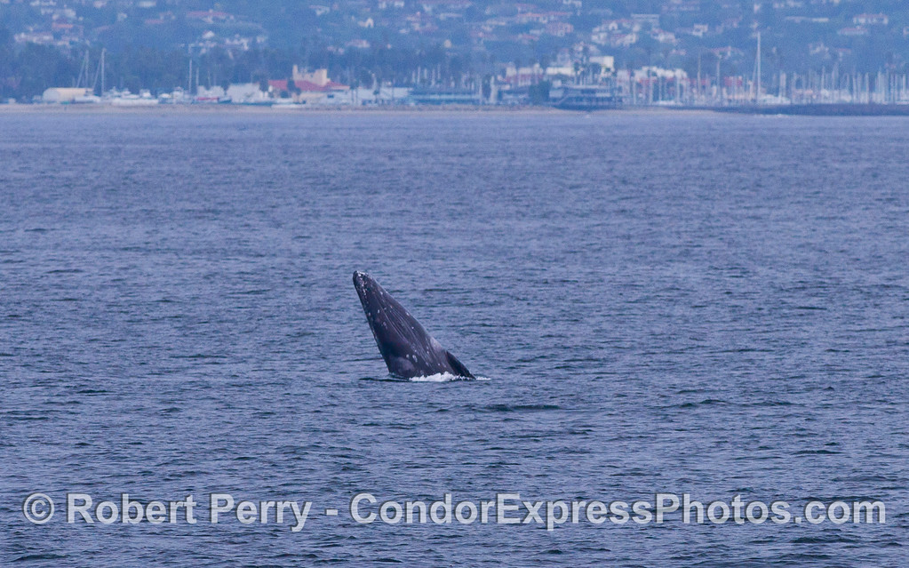 "The ventral (""chin"") side of this Gray Whale (Eschrichtius robustus) is visible as it performs a ""half-breach.""  Santa Barbara Harbor is in the background."