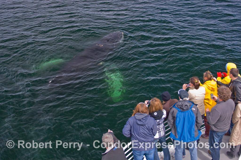 Megaptera novaeangliae & passengers CLOSE 2011 03-26 SB Channel a - 004