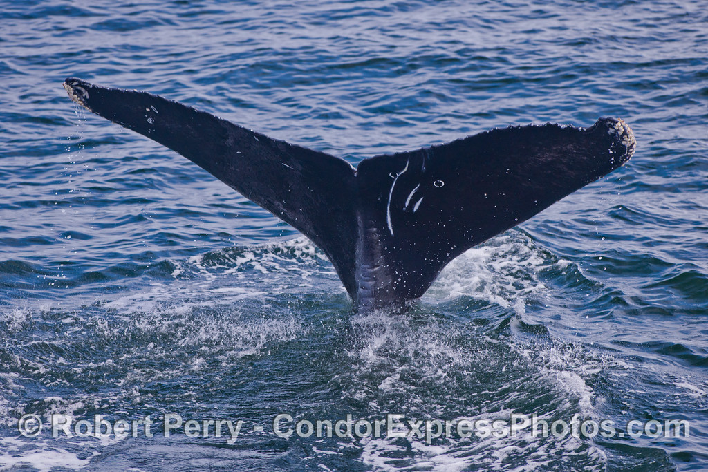 Another unique Humpback Whale (Megaptera novaeangliae) tail.