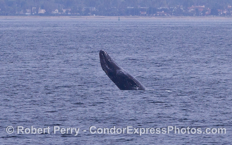 Breach Sequence image 2 of 3:  Gray Whale (Eschrichtius robustus) gets some air off the coast of Santa Barbara.