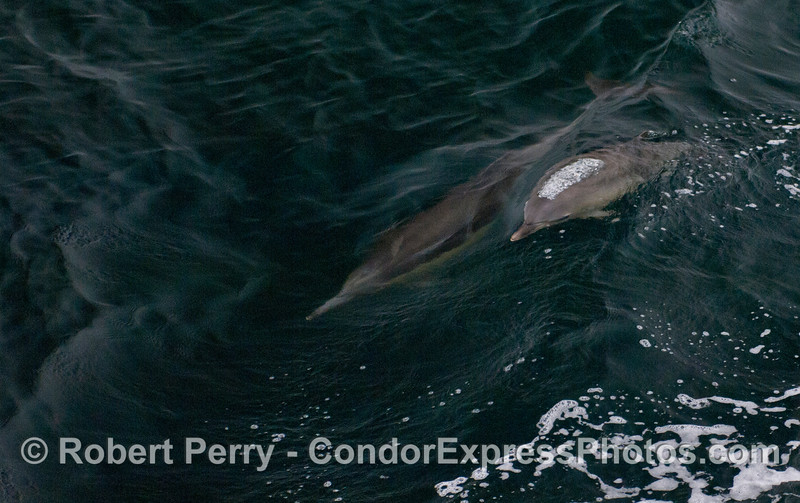 A Common Dolphin (Delphinus capensis) calf and its mother.