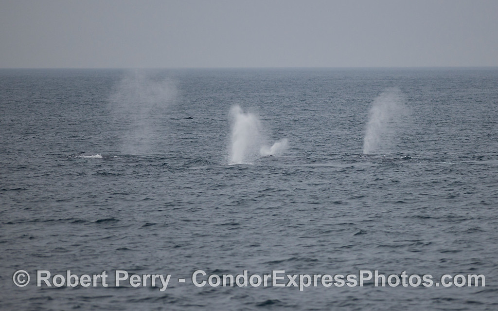 Geysers on the open sea...Humpback Whales (Megaptera novaeangliae) spouting.