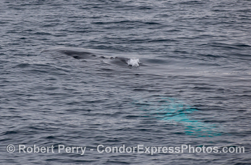 Head and bubbles...Humpback Whales (Megaptera novaeangliae)...also white pectoral fin glowing beneath the water.
