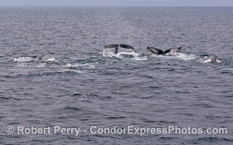 Three tail flukes at once...Humpback Whales (Megaptera novaeangliae).