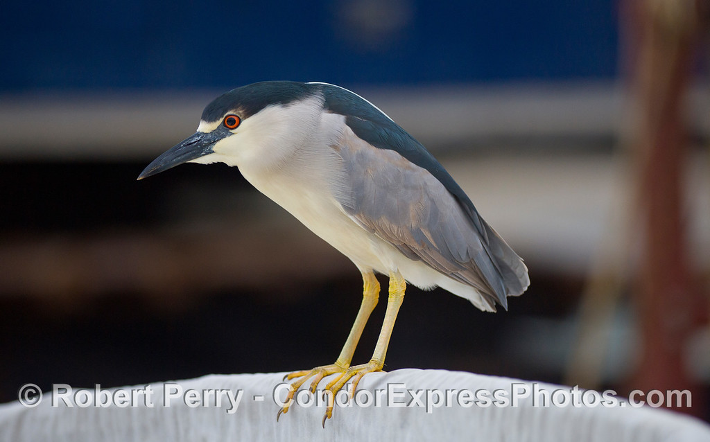 Black crowned night heron (Nycticorax nycticorax) poses on top of a jet boat at the Sea Landing.