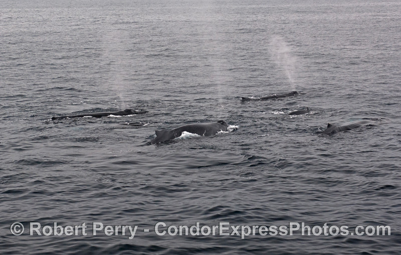Five Humpback Whales (Megaptera novaeangliae).