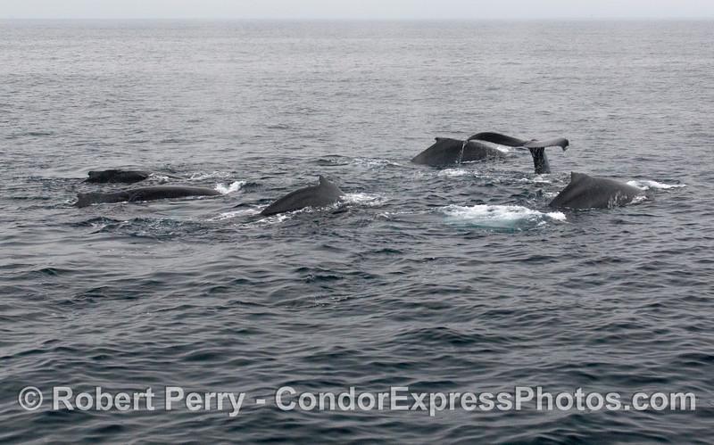 Six Humpback Whales (Megaptera novaeangliae).