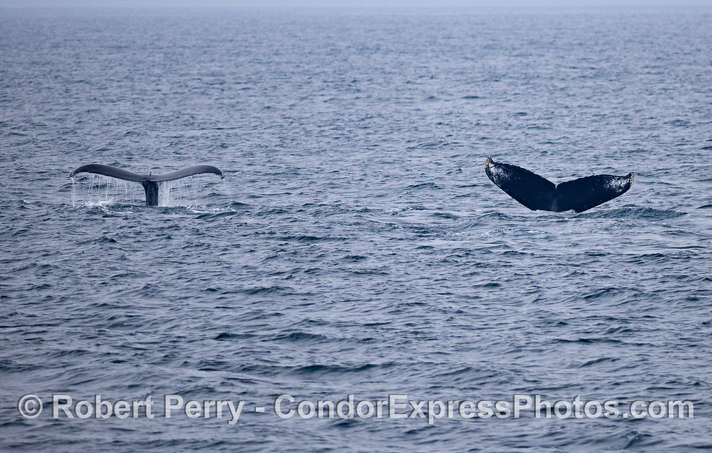 Two more tail flukes, simultaneously....Humpback Whales (Megaptera novaeangliae).