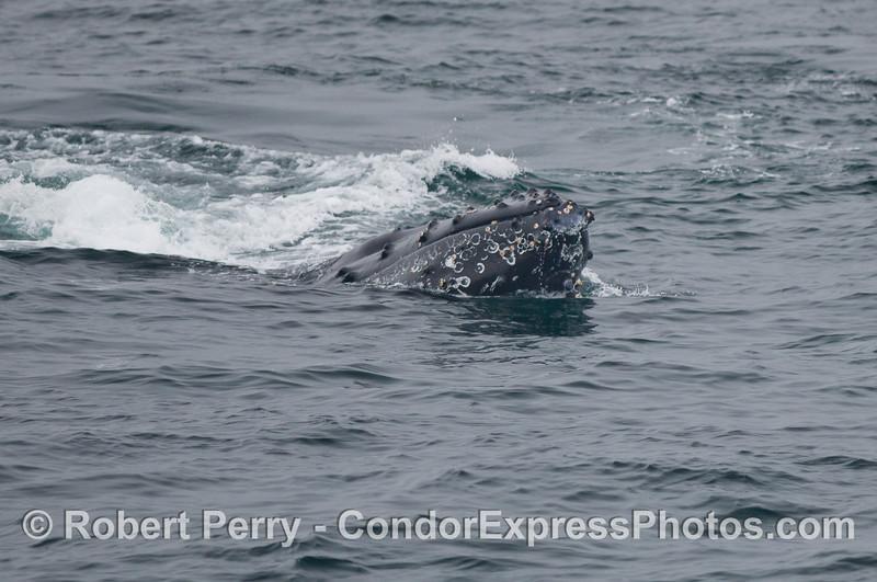 Spy hopping Humpback Whale (Megaptera novaeangliae).