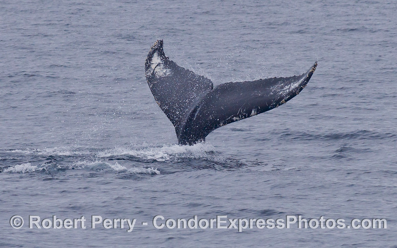 This large female Humpback Whale (Megaptera novaeangliae) frequently flipped her tail fluke on a deep dive.