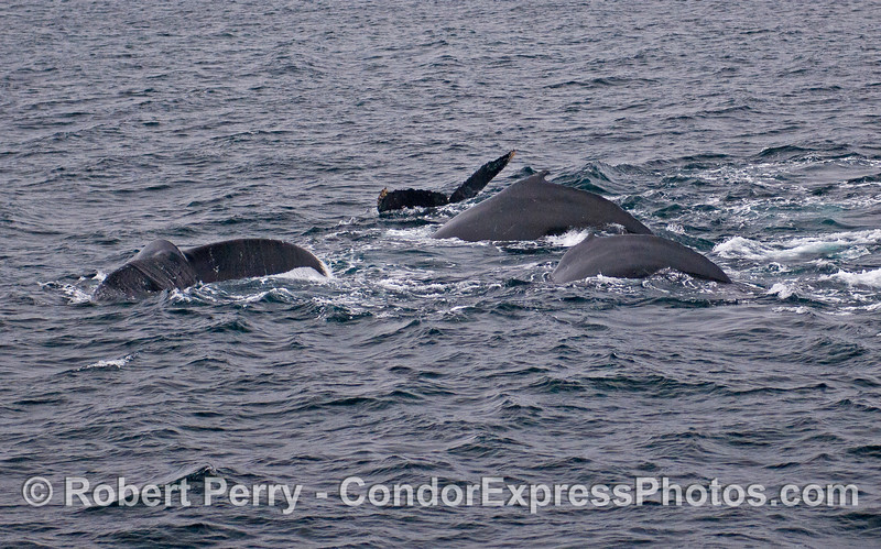 Four deep diving Humpback Whales (Megaptera novaeangliae).