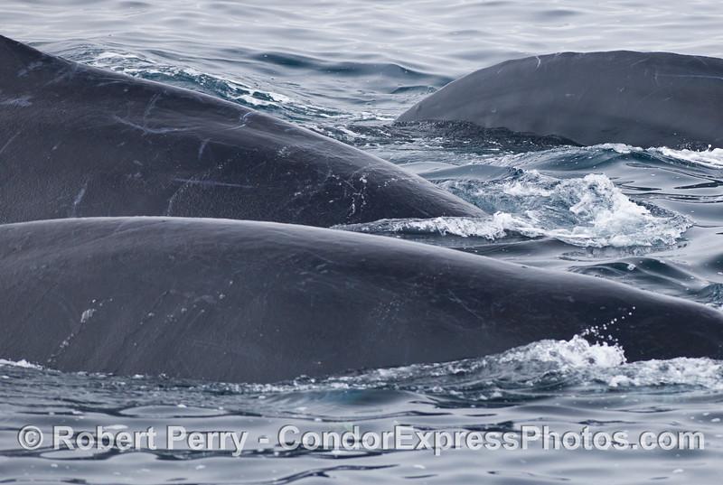 So many Humpback Whales (Megaptera novaeangliae), so little space.