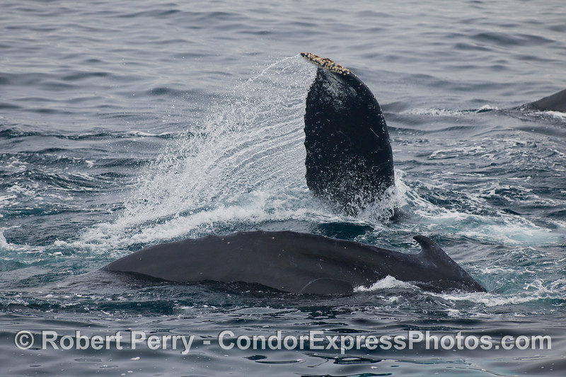 A tail fluke slashes the water as one Humpback Whale (Megaptera novaeangliae) slips into the deep sideways and in tight quarters.