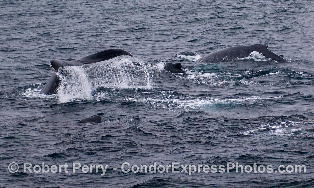 Four Humpback Whales (Megaptera novaeangliae).