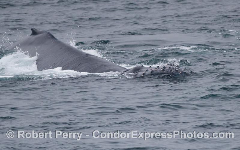 Knobby head of a giant Humpback Whale (Megaptera novaeangliae).