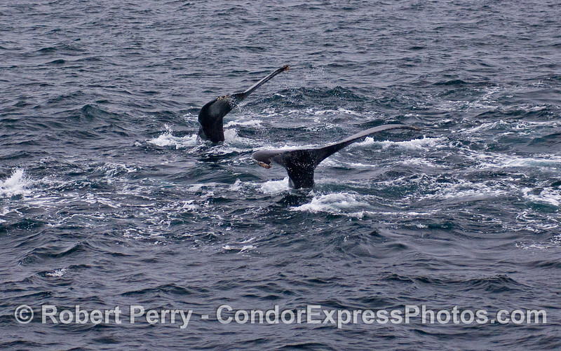 Two tail flukes, side by side, Humpback Whales (Megaptera novaeangliae).