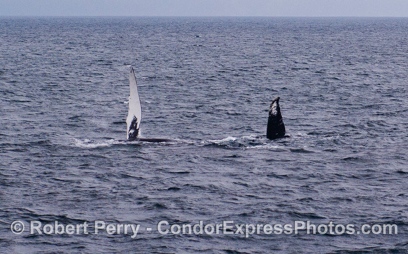 A Humpback Whale (Megaptera novaeangliae) on its side, with pectoral and tail fluke in the air.
