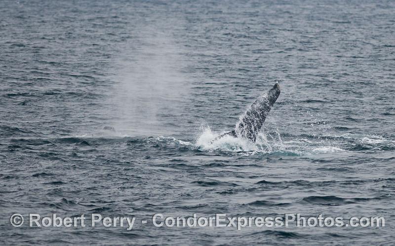 Sideways tail fluke....Humpback Whales (Megaptera novaeangliae).
