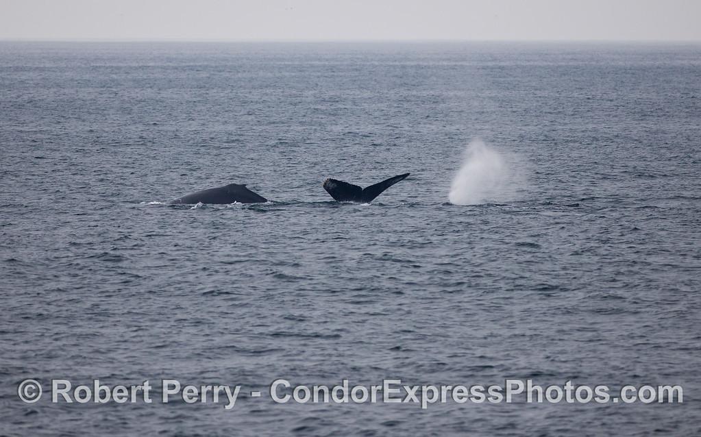 Diagnostic Humpback Whale (Megaptera novaeangliae) lesson photo:  dorsal fin, tail fluke and spout.