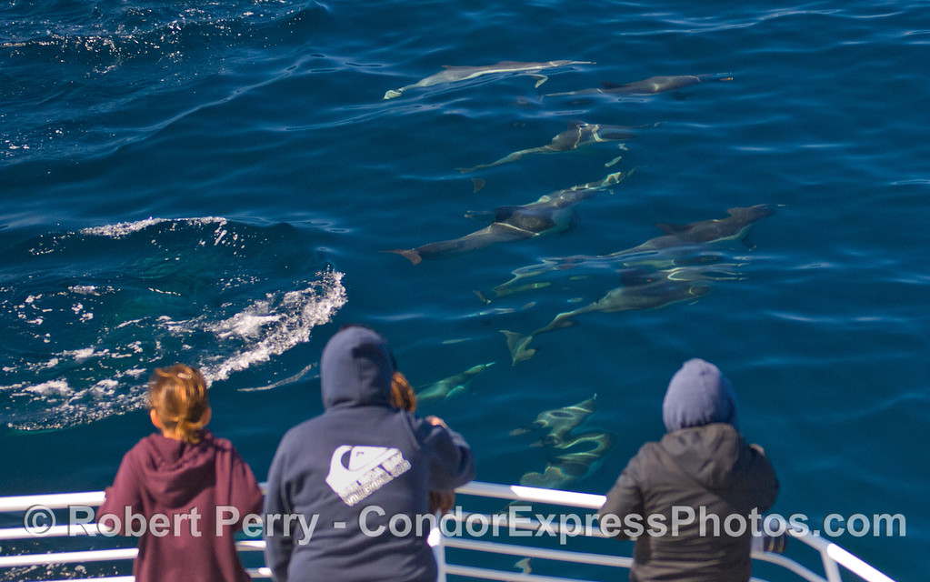 Whalers on the bow of the Condor Express get some great looks at Common Dolphins (Delphinus capensis) playing around the boat.